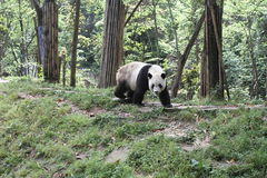 A fat panda Royalty Free Stock Images