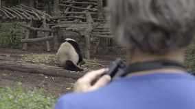 Fat Panda being photographed by tourist. View of a fat Panda being photographed by tourist stock video footage