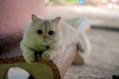 White Persian cat eating food. royalty free stock image
