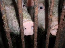 Fat. Pets pig behind bars on a farm Royalty Free Stock Image