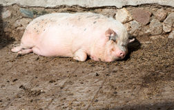 Fat pig lying on the ground Stock Image