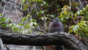 Fat pigeon looking funny sitting on log royalty free stock photography