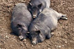 Fat pigs relaxing on the farm Stock Images