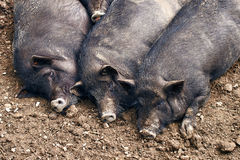 Fat pigs relaxing on the farm. Fat lazy pigs relaxing on the farm royalty free stock photos