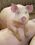 Fat pigs in a sty on a farm Royalty Free Stock Image