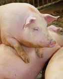 Fat pigs in a sty on a farm Royalty Free Stock Photography