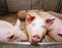 Fat pigs in a sty on a farm Royalty Free Stock Photo