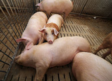 Fat pigs in a sty on a farm Stock Photos