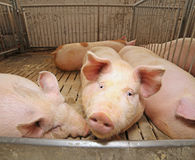 Fat pigs in a sty on a farm Stock Photography