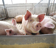 Fat pigs in a sty on a farm Royalty Free Stock Photos