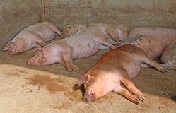 Fat pigs in the sty of the farm in the countryside Royalty Free Stock Image