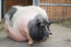 Fat pink and black pot-bellied pig. Standing in front of farm royalty free stock photos