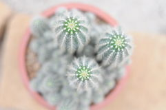 Fat plant and cactus Royalty Free Stock Image