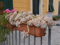 Fat Plants of Liguria. Fat Plants typical of mild climate weather of Liguria, a region of Italy on the coast of Tyrrhenian sean Royalty Free Stock Photos