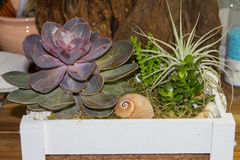 Fat plants in a wooden box. Fat plants in a wooden box in front of a wooden backgrond Royalty Free Stock Image