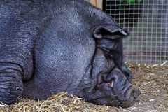 A fat pot-bellied pig Royalty Free Stock Photography