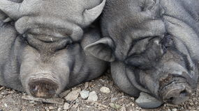 Fat pot-bellied pigs and agri-tourism for kids Royalty Free Stock Photography