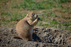 Fat Prairie Dog. A fat prairie dog munches on a cracker, safe in the entrance to it's hole Stock Photography