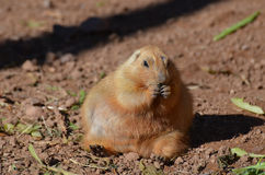 Fat Prairie Dog Snacking on Some Food. Chubby black tailed prairie dog snacking on some food Stock Photo