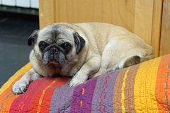 Fat pug dog. Fat pug pet dog laying on bed royalty free stock images