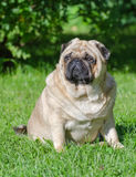Fat pug dog. On the grass in the park stock photography