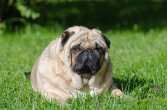 Fat pug dog. On the grass in the park stock images