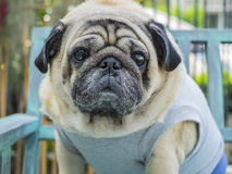 Fat pug dog. Royalty Free Stock Image