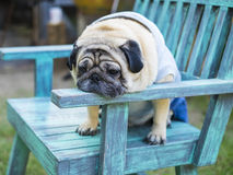 Fat pug dog. Royalty Free Stock Images