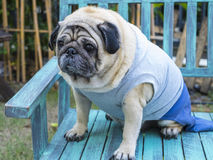 Fat pug dog. Fat pug dog sitting on wooden table with outdoor background royalty free stock photos
