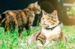 Fat pussy cat lies on a grass meadow, in the background one more cat. Stock Image