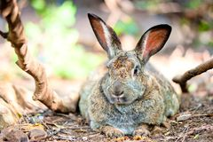 Fat rabbit is resting on the ground in the shade of trees Stock Images