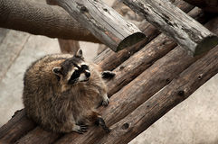 Fat Raccoon Sitting on Wooden Boards. The raccoon is the largest of the procyonid family, having a body length of 40 to 70 cm (16 to 28 in) and a body weight of Stock Photo