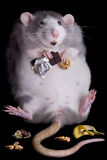 Fat Rat. A fat rat named Drucilla is eating candy and cookies