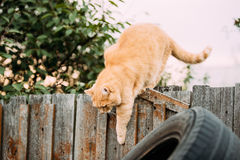 Fat Red Cat Climbs On Fence In Summer Evening stock photo