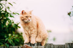 Fat Red Cat Sitting On Fence In Summer Day Stock Images