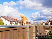 Fat red cat is walking on the fencil in beautiful residential sector of row houses in sunny day with blue sky. Fat red cat is walking on the fencil in beautiful Stock Photos