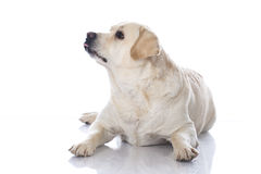 Fat retriever dog Royalty Free Stock Image