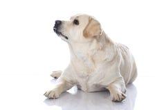Fat retriever dog Royalty Free Stock Image