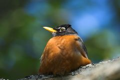 Fat robin. Sitting on a branch Stock Images