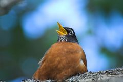 Fat robin. Singing Royalty Free Stock Images