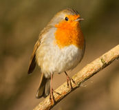Fat Robin on branch. Stock Photo