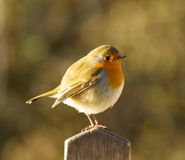 Fat Robin on Gate Post Royalty Free Stock Photo
