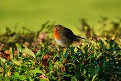 Fat robin in a hedgerow Royalty Free Stock Image
