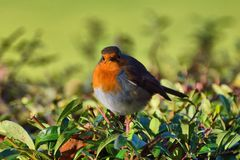 Fat robin in a hedgerow Stock Images