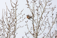 Fat Robin among Late-Winter Tree Branches Stock Images