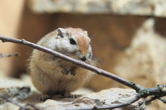 Fat sand rat. The fat sand rat with the branch Stock Photography