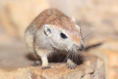 Fat sand rat Stock Images