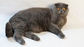 The fat Scottish Fold cat lies on the floor on a white background stock photo