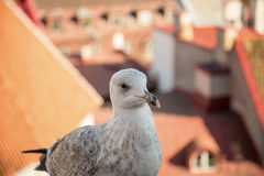 Fat  seagull on a viewing platform in Tallinn Stock Photography