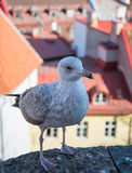 Fat  seagull on a viewing platform in Tallinn Royalty Free Stock Photography